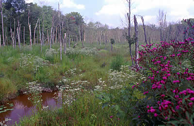 Photo of Cedarville Marsh with Ironweed